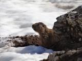 marmotte dans la neige