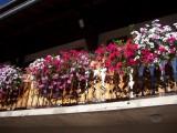 aliaga-fleurs-42144